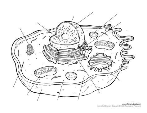 Printable Blank Diagram Animal Cell | printable animal cell diagram labeled unlabeled and blank