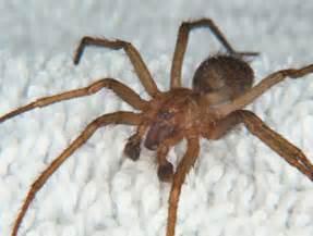 are barn spiders venomous top 10 deadliest spiders