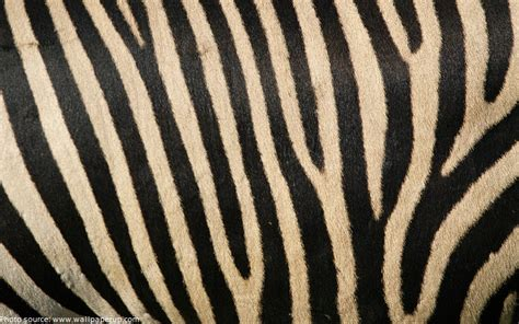 zebra pattern facts interesting facts about zebras just fun facts