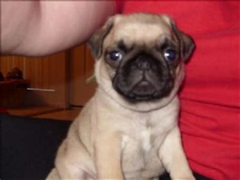 pug puppies for sale las vegas nevada pug puppies for sale