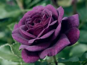 Images Of Rose Flower - purple rose flower the variations available and their