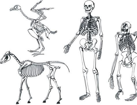 skeleton layout exles human skeleton medical diagram free vector download 3 183