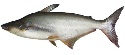 Pakan Ikan Naupli Artemia budidaya perikanan nusantara cara budidaya ikan patin