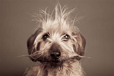 wire haired terrier yorkie mix search results for chihuahua haircuts black hairstyle and haircuts