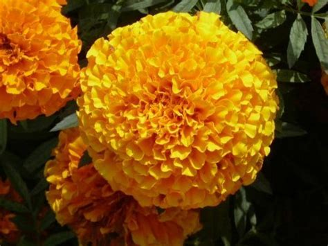 imported flower seeds giant marigold exporter  howrah