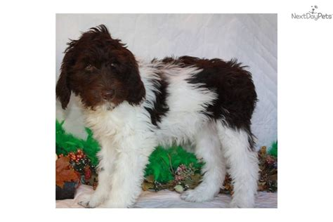 goldendoodle puppy mill rescue labradoodle rescue california chocolate labradoodle and