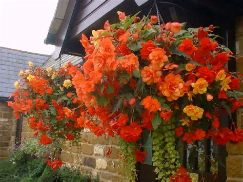 Trailing Foliage Plants For Hanging Baskets - best plants for hanging baskets balcony garden web