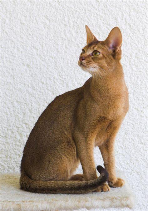cat breed top 30 cat breeds pethelpful