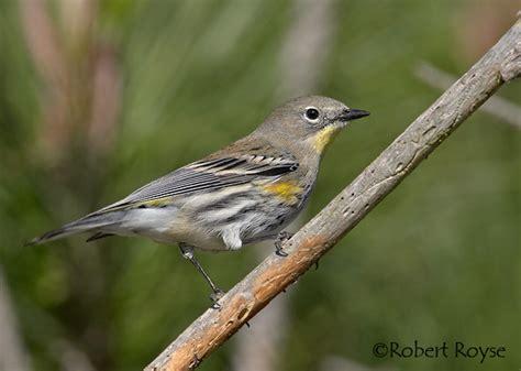 yellow rumped warbler2