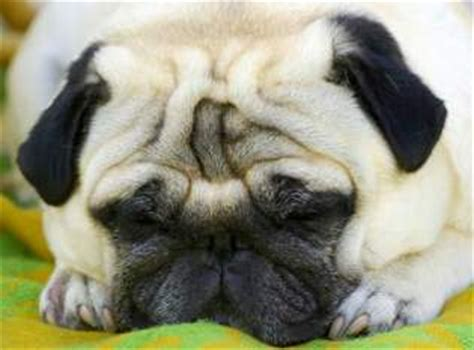 how to stop pugs from shedding pug shedding contolling and stopping the pug shed pugs