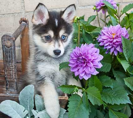 the pomsky the the facade