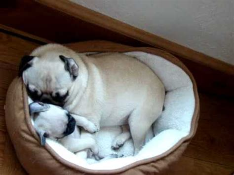 pugs snoring snoring pile of pugs ii funnydog tv