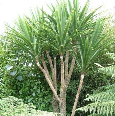 Tanaman Daun Pandan Bibit Pandan Kecil tanaman pandan bali cabbage palm bibitbunga