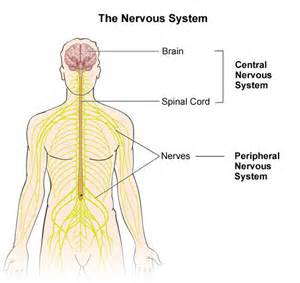 daniel s biology blog 2 83 central nervous system