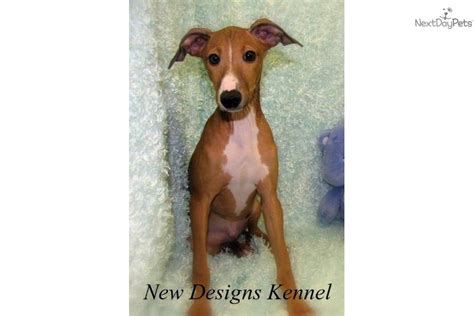 greyhound puppy price italian greyhound price breeds picture