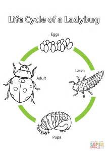 Life cycle of a ladybug worksheet images amp pictures becuo
