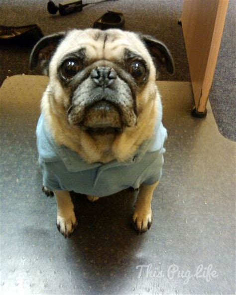 wearing pug shirt pug dresses up this pug