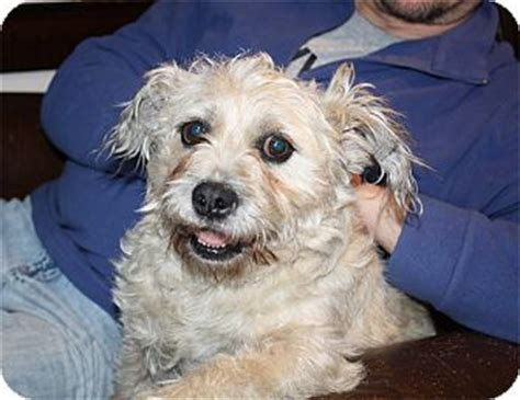 lhasa apso pug mix larchmont ny pug lhasa apso mix meet shorty a for adoption