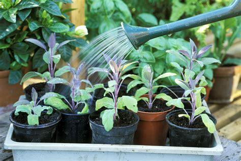 signs    overwatering  herb garden