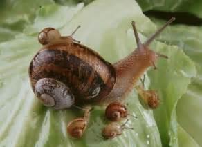 l 233 levage d escargots ou h 233 liciculture