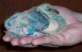 Pakan Burung Walet Anakan pakan kusus untuk anakan merpati pos situs burung