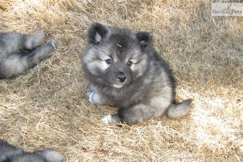 keeshond puppy keeshond puppy for sale near athens 8f940c5f c901