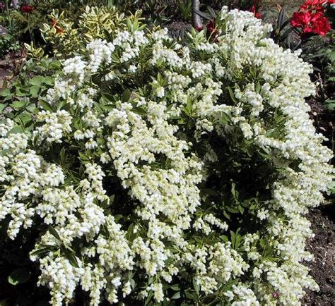 early flowering shrubs ed s favorites pieris