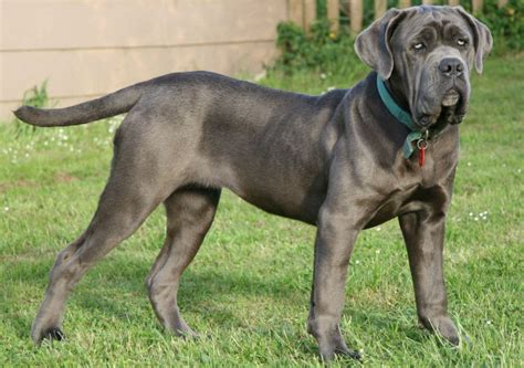 what is the best puppy food what is the best food for mastiffs