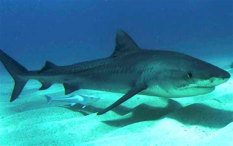 baby shark weight tiger shark shark facts and information