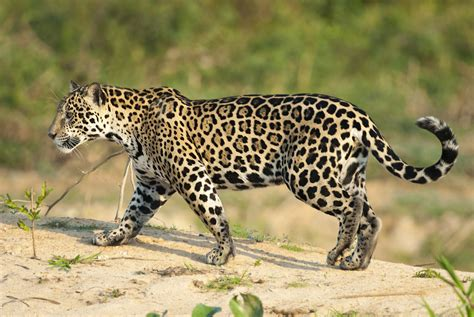 jaguar maine jaguar animal facts