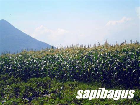 Tanaman Jagung Pakan Ternak limbah tanaman jagung sebagai sumber pakan sapi