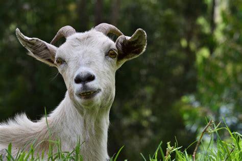 afbeelding bloemen met dier natuur dier geit hoofd kleurrijk foto gratis download