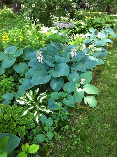 shade garden ideas hostas photograph blue hosta in shade g