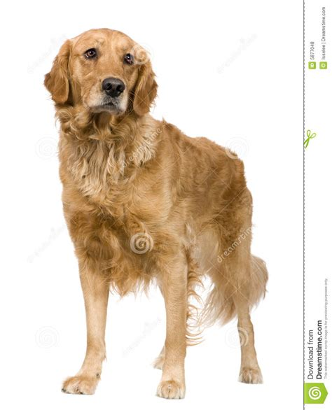 golden retriever 3 years golden retriever 2 years royalty free stock photos image 5877048
