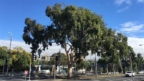 citylink x900 petition 183 vicroads our lemon scented gum is worth saving
