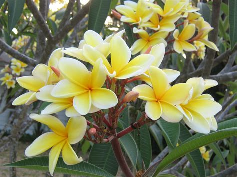 plumeria photos flower picture plumeria flower picture
