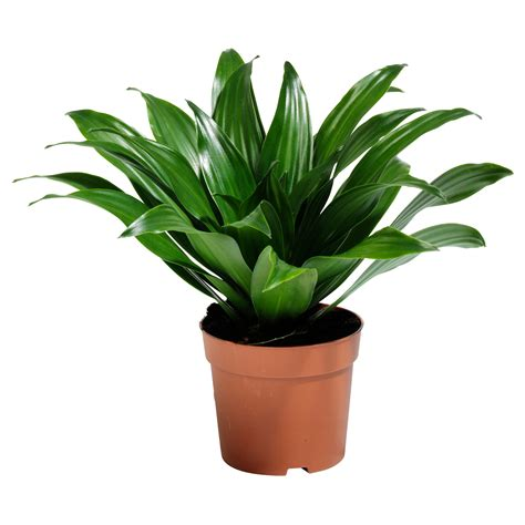 indoor houseplants dracaena janet craig растение в горшке potted plants