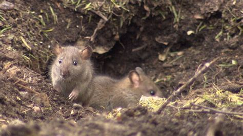 daycare keeping kids indoors after compost attracts rat