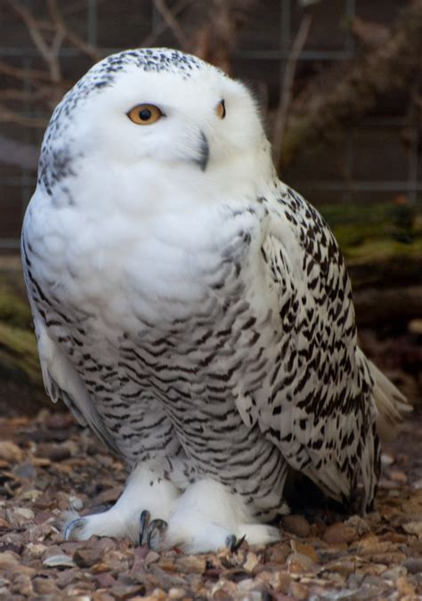 amazoncom snowy owl ranking the 8 most adorable species of owl theslicedpan