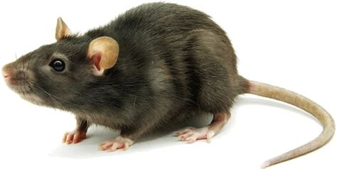 how to get rid of mice in your backyard how to get rid of mice fast and save your money albemarle matters