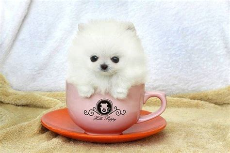 pomeranian cup 101 puppies see the cutest puppy in the world best list