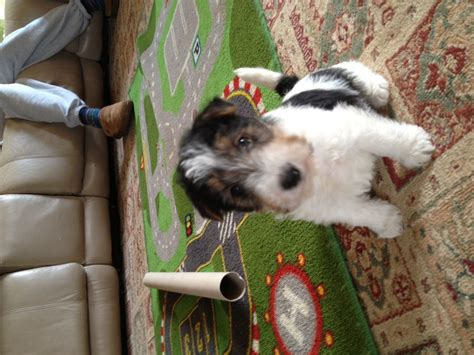 wire hair fox terrier puppies for sale wire hair fox terriers breeds picture