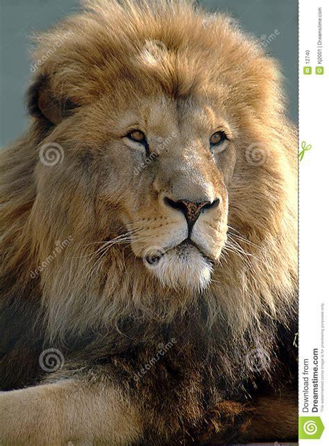 imagenes de leones rugientes le 243 n africano foto de archivo imagen 12740
