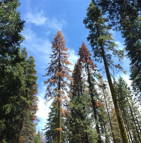 12 ft sierra devada tree pine tree deaths plague california s nevada green on the huffington post howldb