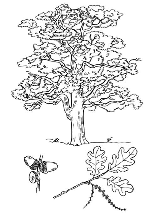 Carvalho para Colorir - Desenhos de Arvores para Imprimir