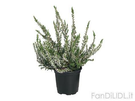 calluna vulgaris in vaso calluna vulgaris fiori fan di lidl