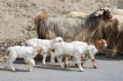 kaschmir tier ziege und kaschmir pashmina ziegen aus indischen