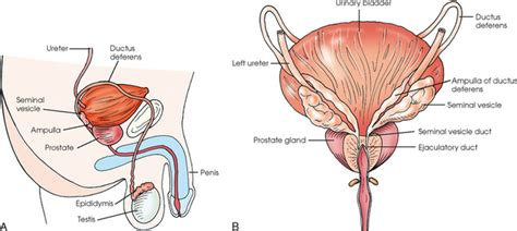 midsagittal section of female reproductive organs reproductive system radiology key
