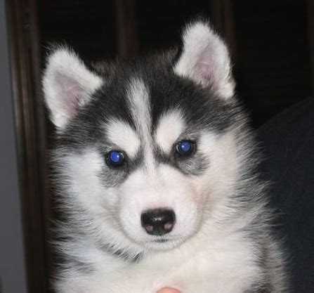 cute puppy dogs siberian husky puppies
