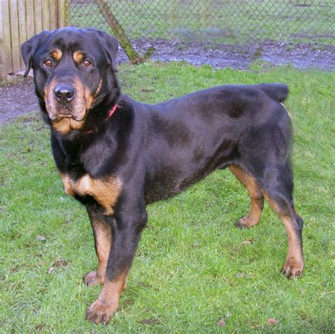 rottweiler needs rottweilers in need adpotions